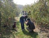 りんごがりをする人々