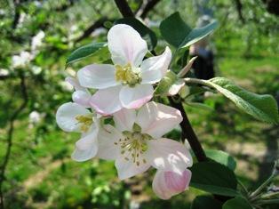 """りんごの花""""IMG_0269.JPG"""""""