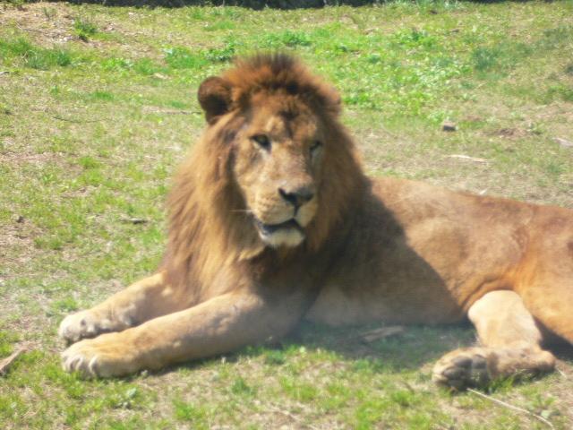 lion_bus1.jpg