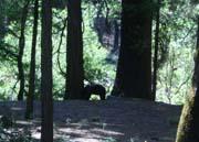 Yosemitebear.jpg