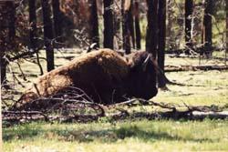bison91.jpg