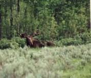 moose91.jpg