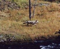 yellowcoyote.jpg